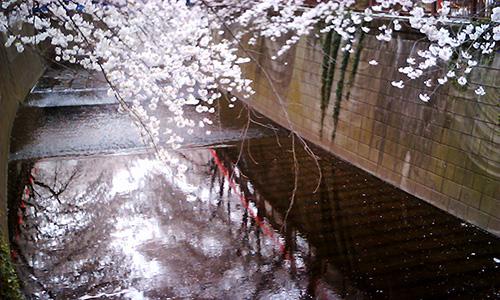 20190408_sakura.jpg